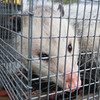 Record-Eagle/Keith King<br /> An opossum lies in a cage Thursday, April 11, 2013 after being caught by Joe Patterson, co-owner, with his wife Sherri, of Critter Control of Traverse City.