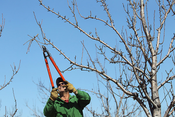 ORCHARD PRUNING