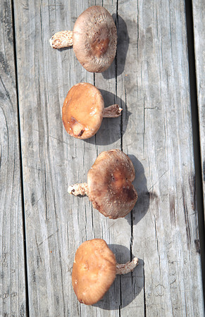 Record-Eagle/Nathan Payne<br /> Growing mushrooms can be as easy as putting plugs of spores into logs and waiting, according to some experts.