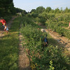 Record-Eagle/Keith King<br /> Blueberries are picked at Buchan's Blueberry Hill on Old Mission Peninsula.