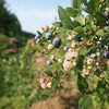 Record-Eagle/Keith King<br /> Blueberries at Buchan's Blueberry Hill on Old Mission Peninsula.