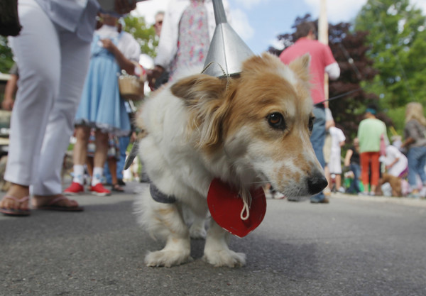 "Record-Eagle/Keith King<br /> Charlie, a fluffy corgi owned by Jim Tobin, of Northport, stands dressed in a Tin Man costume Saturday, August 10, 2013 as people gather for the 17th annual Northport Dog Parade with the theme,"" The Wizard of Pawz."""