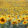 Record-Eagle/Jan-Michael Stump<br /> Sunflowers blossom in a field Friday along M-72 and Arnold Road in Williamsburg.