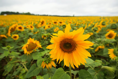 Record-Eagle/Keith King Sunflowers stand along Long Lake Road in Long Lake Township.