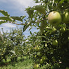 Record-Eagle/Keith King<br /> Apples grow Thursday, August 22, 2013 at King Orchards in Central Lake.
