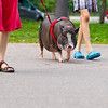 POTBELLIED PIG WALK