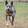 Record-Eagle/Vanessa McCray<br /> <br /> Wheeler, an Australian cattle dog, fetches a ball thrown by his owner Tim Pierce at Traverse City's newly opened dog park.