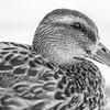Spec Duck