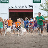 Record-Eagle/Keith King<br /> Goats are released as participants run near them Tuesday, August 7, 2012 in the 4-H Goat Run during the Northwestern Michigan Fair.