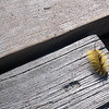Record-Eagle/Rich C. Lakeberg<br /> An American dagger moth caterpillar makes its way across a hot boardwalk near the South Manitou Island lighthouse. The Dr. Seuss-looking insect has spikes that can sting and cause a rash.