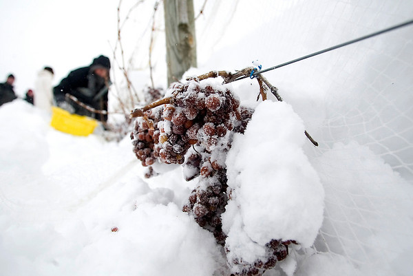Record-Eagle/Jan-Michael Stump<br /> Vineyard manager Paul Dalese picks frozen Riesling grapes at Chateau Chantal.