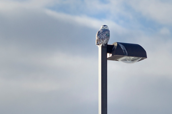 Record-Eagle/Jan-Michael Stump<br /> A snowy owl sits atop a light post on Village Park Drive in Garfield Township.