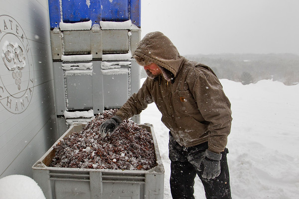 ICE WINE HARVEST