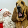 Record-Eagle/Garret Leiva<br /> Sawyer, a 142-pound bloodhound, does his best impression of a lap dog as he sits with Santa Sunday at the Cherryland Humane Society's annual Santa Paws open house. For a $10 donation, owners could have their pet's picture taken with Santa. Donations benefited the society's programs for shelter animals. Prizes were awarded to the cutest, smallest, largest, best costume, and most unusual pet. The open house included tours of the animal shelter facility at 1750 Ashlberg Road.