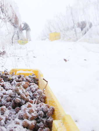 Record-Eagle/Keith King<br /> Frozen grapes are gathered during the ice wine harvest Wednesday morning at Chateau Chantal winery on Old Mission Peninsula.  Grapes must be frozen on the vine for about 24 hours at temperatures between 15-18 degrees Fahrenheit in order to make ice wine.