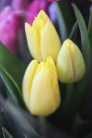 Record-Eagle/Jan-Michael Stump<br /> Tulips are popular for Valentine's Day at Lillies of the Alley in Traverse City.