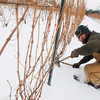 Record-Eagle/Keith King<br /> Patrick Rigan, field manager for Agrivine, eliminates canes as a part of cane pruning on grapevines Thursday at Brys Estate Vineyard and Winery on Old Mission Peninsula.