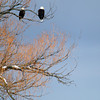 Record-Eagle/Keith King<br /> A bald eagle, Friday, February 8, 2013 over West Grand Traverse Bay.