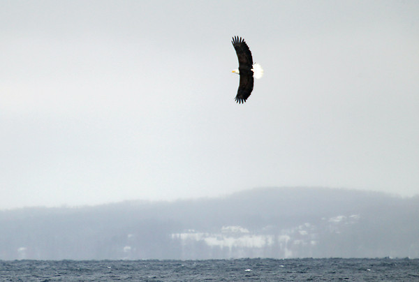 Record-Eagle/Keith King<br /> A bald eagle flies Friday, February 8, 2013 over West Grand Traverse Bay.