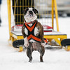 Record-Eagle/Jan-Michael Stump<br /> Dotti, an English Bulldog owned by Stephanie Pitz, of Fife Lake, attempts to pull 265 pounds during the International Weight Pullers Association dog weight pull during the Kalkaska Winterfest at the Kalkaska Civic Center.