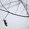 Record-Eagle/Keith King<br /> A lone leaf hangs from a branch on a tree along East Norris Road in Suttons Bay.