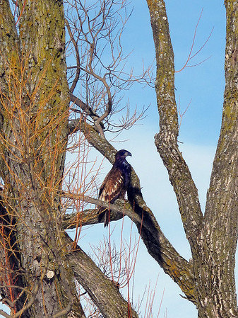 Record-Eagle/Art Bukowski<br /> An immature bald eagle sits in a tree at the Greilickville Harbor Park on Friday.