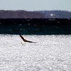 Record-Eagle/Jan-Michael Stump<br /> A bald eagle takes flight from the ice off West End Beach in West Grand Traverse Bay.