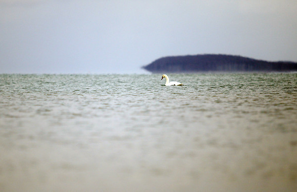Record-Eagle/Keith King<br /> A swan swims Wednesday in West Grand Traverse Bay in Traverse City.
