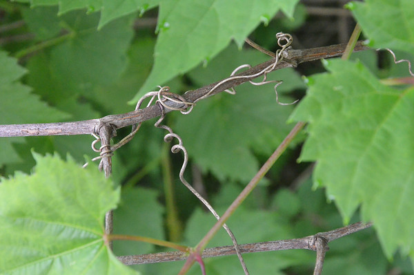 Record-Eagle/Allison Batdorff<br /> The wild grape vine, a nuisance to gardeners and commercial growers, can be foraged for wild grape leaves.