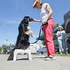 "Record-Eagle/Keith King<br /> BB, a border collie, demonstrates balance and strong core muscles with owner Kathy Frost, owner, canine massage practitioner and canine fitness trainer at K9 Body Works, Saturday, July 13, 2013 during Furry Friend Day at Oryana Natural Foods Market in Traverse City. ""It's all about teaching the dogs how to acquire strength, balance and flexibility for longevity of health, and teaching the owners how to work with their dogs,"" Frost said. The event included a variety of pet-related exhibits, kittens from the Cherryland Humane Society and a pet parade."