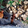 Record-Eagle/Jan-Michael Stump<br /> Chickens rest in Sarah Johnson's Blair Township backyard.