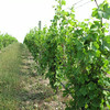 Record-Eagle/Glenn Puit<br /> Rows of vines are depicted at Hawthorne Vineyards.