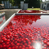 Record-Eagle/Keith King<br /> Tart cherries lie in a tank of water at Weatherholt Farms, on Old Mission Peninsula, to cool them after being harvested.