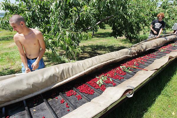 Record-Eagle/Keith King<br /> Daniel Schmidt, left, and James Lyon watch dark sweet cherries go down the conveyor belt.