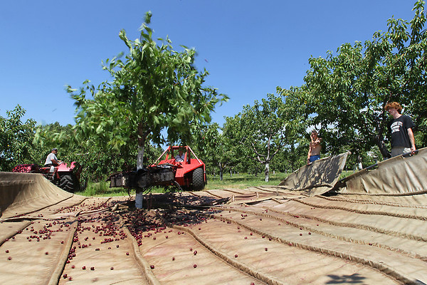 Record-Eagle/Keith King<br /> Dark sweet cherries are shaken from a tree as James Lyon, far right, and Daniel Schmidt, prepare to guide them onto a conveyor belt at Island View Orchards on Old Mission Peninsula.