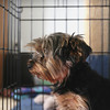 Record-Eagle/Keith King<br /> A Yorkshire terrier foster pet with a pelvic condition sits Wednesday, July 24, 2013 at the home of Patti Goudey, of Traverse City, co-founder of Helping Abused Neglected Disabled Displaced Souls (HANDDS) to the Rescue.