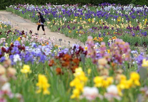 """Record-Eagle/Keith King<br /> Diane Deering, of Traverse City, selects irises Thursday, June 13, 2013 at Iris Farm in Solon Township. There are over 1,000 varieties and colors as well as hundreds of thousands of blooms at the farm. """"The flowers are loving it,"""" Bill Black, owner, said of the irises in the cooler temperatures. """"I'm in my glory whenever I'm among flowers, I just love them,"""" Deering said."""