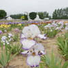 "Record-Eagle/Keith King<br /> Irises bloom Thursday, June 13, 2013 at Iris Farm in Solon Township. There are over 1,000 varieties and colors as well as hundreds of thousands of blooms at the farm. ""The flowers are loving it,"" Bill Black, owner, said of the irises in the cooler temperatures."