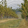 Record-Eagle/Jan-Michael Stump<br /> Bacterial chancre, which multiplies in cold, wet weather, inflicted significant damage to area orchards, like these sweet cherry trees on Dennis Hoxie's Acme farm, because of freezing temperatures this spring.