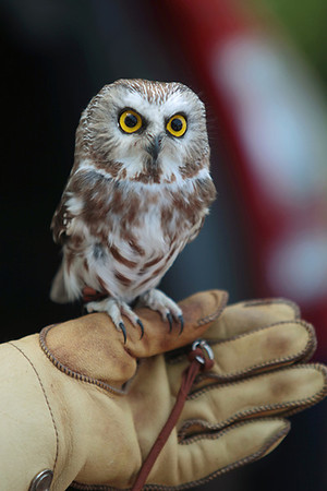 Record-Eagle/Keith King<br /> A saw-whet owl perches on the hand of Rebecca Lessard, executive director of Wings of Wonder, during the Boardman River Nature Fest.