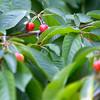 Cherry Crop
