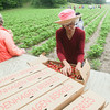 Record-Eagle/Keith King<br /> Delorus Burton codes and inspects boxes of strawberries as they're harvested Wednesday at Bardenhagen Berries in Leelanau County.