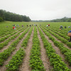 Record-Eagle/Keith King<br /> Workers harvest strawberries Wednesday at Bardenhagen Berries in Leelanau County.
