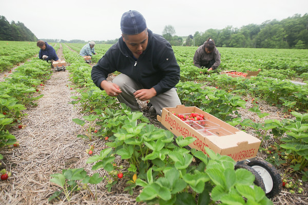 Record-Eagle/Keith King<br /> Jesús Piceno, along with other workers, harvests strawberries Wednesday at Bardenhagen Berries in Leelanau County.