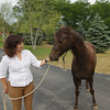 Record-Eagle/Keith King<br /> Nancy Reye stands with her Morgan horse, Ellie, Tuesday, July 2, 2013 on Old Mission Peninsula. Ellie tested positive for equine protozoal myeloencephalitis (EPM).
