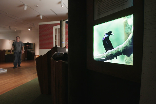"Record-Eagle/Keith King<br /> A photo of a Magnificent Riflebird is shown as setup takes place Wednesday, June 12, 2013 for ""Birds of Paradise: Amazing Avian Evolution,"" produced by National Geographic and the Cornell Lab of Ornithology, scheduled to take place at Northwestern Michigan College's Dennos Museum Center from June 16 through September 22."