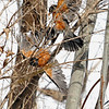 Record-Eagle/Jan-Michael Stump<br /> A pair of male robins fight alongside South Nanagosa Trail near Suttons Bay on Tuesday. Springtime sees territorial fights like these in many different species. The birds are a traditional sign of spring, as is this week's weather forecast that includes sun and warmer temperatures.