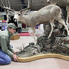 Record-Eagle/Keith King<br /> Jamie Flewelling, president and wildlife artist at Legends Taxidermy, of Scottville, on Friday arranges his display for the annual Traverse City Hunting & Fishing Expo in Howe Arena at the Grand Traverse County Civic Center.