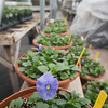 Record-Eagle/Keith King<br /> A pansy Friday at Breeze Hill Greenhouse in Elmwood Township which is scheduled to open May 1.