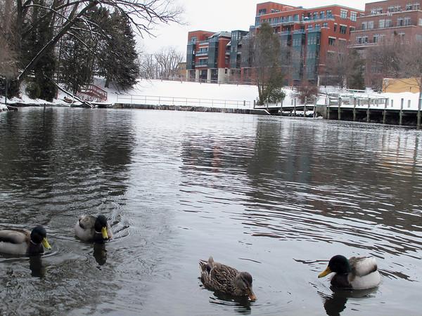 Record-Eagle/Glenn Puit<br /> Ducks swim in the Boardman River in dowtown Traverse City.